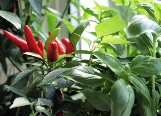 Chilli-and-Basil