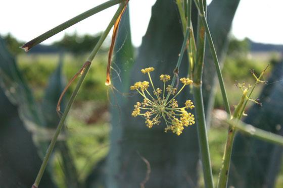 Wild-Fennel-in-Puglia